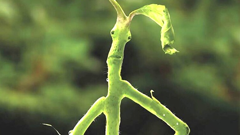 Face of a Bowtruckle